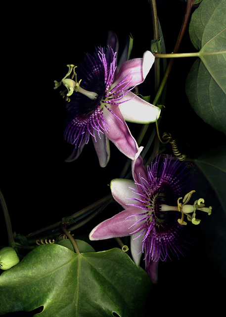 , 'Passion Flower,' , J. Petter Galleries