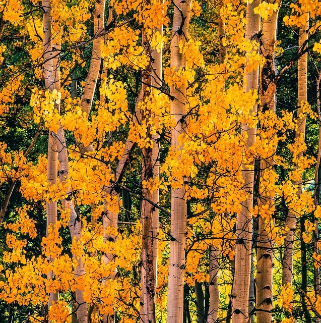 , 'Cheerful Aspens, Colorado,' 2017, Photography West Gallery