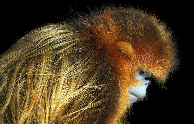 , 'Golden Snub Nose Monkey,' 2017, Osborne Samuel