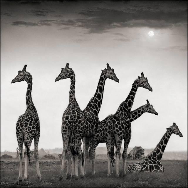 , 'Giraffe Fan, Aberdares,' 2000, Bernheimer Fine Art