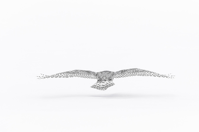 , 'Harfang Vol de Dos (Snowy Owl Flying) ,' , Paul Nicklen Gallery