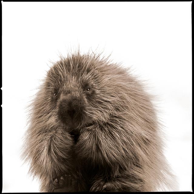 , 'Porcupine-I,' , Visions West Contemporary