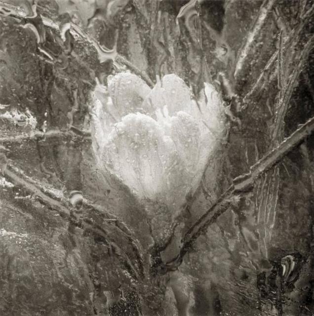 Cy DeCosse, 'Rainy Day Crocus', Photography, Platinum Palladium Print, Gallery 270