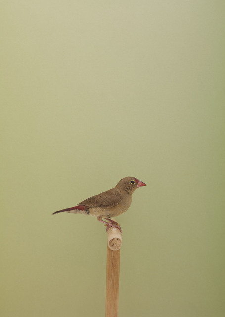 , 'Red Billed Fire Finch #2,' ca. 2016, The Photographers' Gallery
