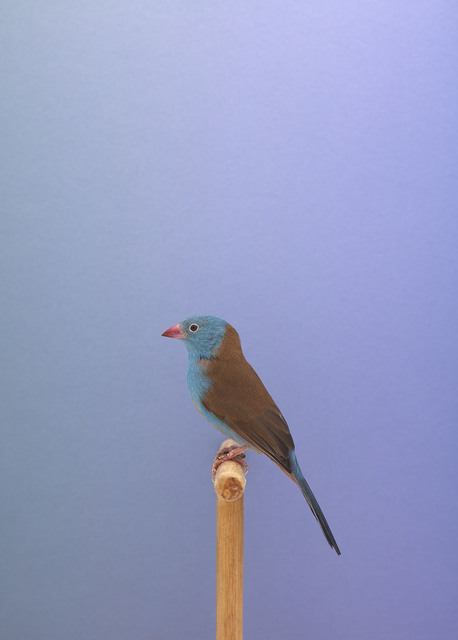 , 'Blue Cap Waxbill #1,' 2015, The Photographers' Gallery