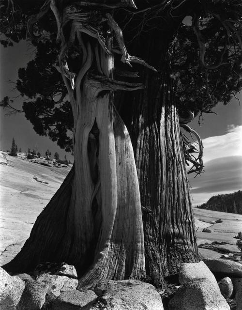 , 'Juniper, Lake Tenaya, No.2,' 1937, Timeless Gallery