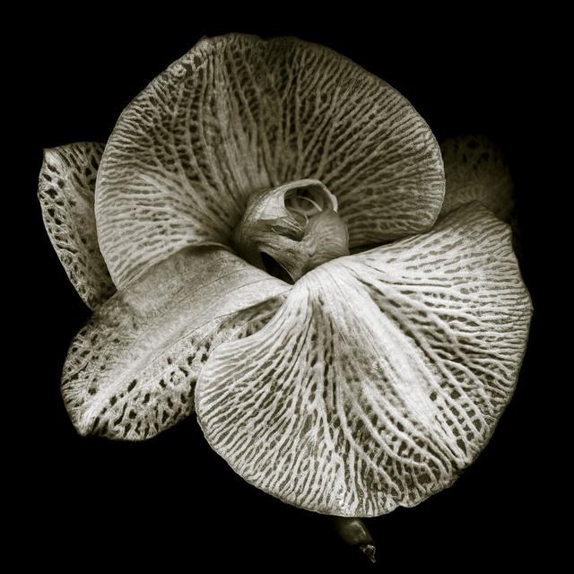, 'Phalaenopsis #2,' , Fabrik Projects Gallery
