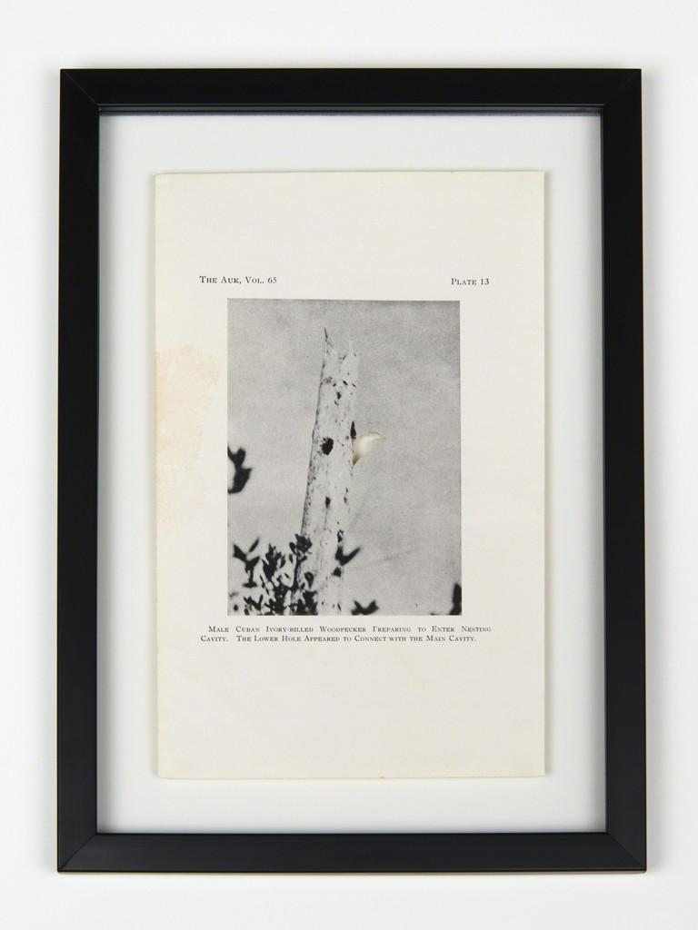 RIP Cuban Ivory-Billed Woodpecker: After John Dennis, 1948