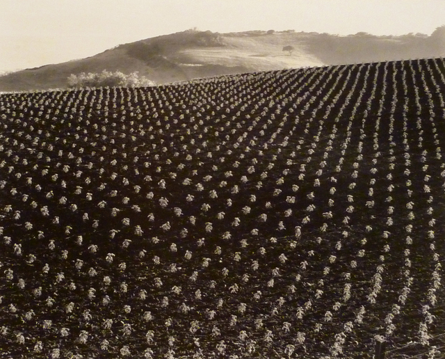 , 'Tomato Field, Big Sur,' 1937, Weston Gallery