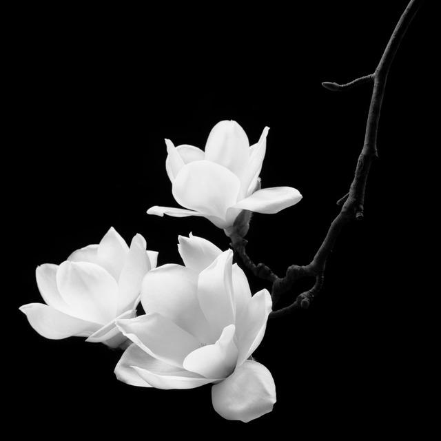 , 'Magnolia Kobus - Real Flower 002,' 2015, Gallery Chosun