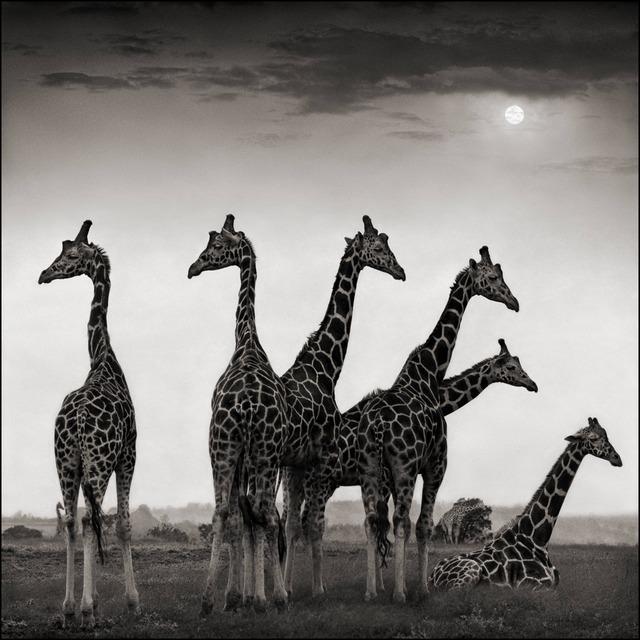 Nick Brandt, 'Giraffe Fan, Aberdares 2000', 2000, photo-eye Gallery