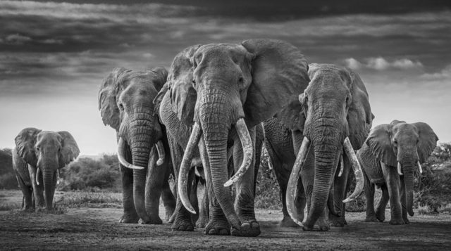 David Yarrow, 'The Mob', 2019, Photography, Archival Pigment Print, Maddox Gallery