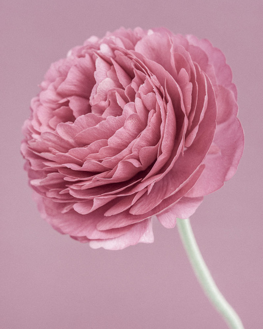 , 'Pink Ranunculus,' 2015, Weston Gallery