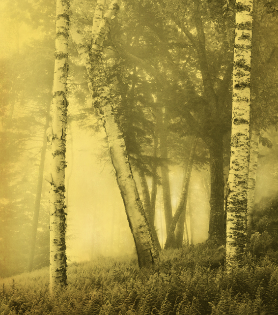 , 'Birch Trees,' 2011, Holden Luntz Gallery