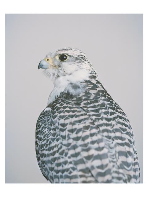 , 'Gyr Saker Falcon,' 2014, Francesca Maffeo Gallery