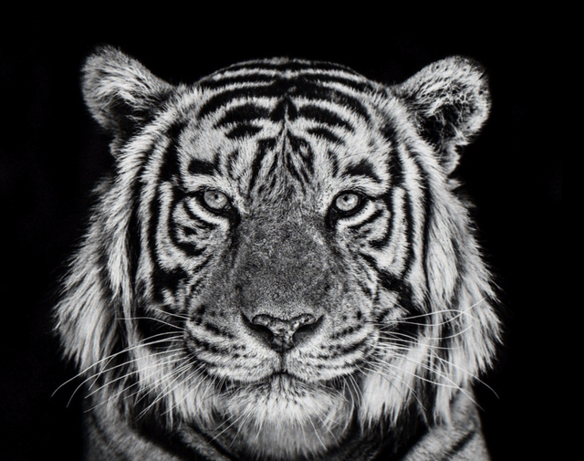 David Yarrow, 'Rajasthan', ca. 2019, Samuel Lynne Galleries