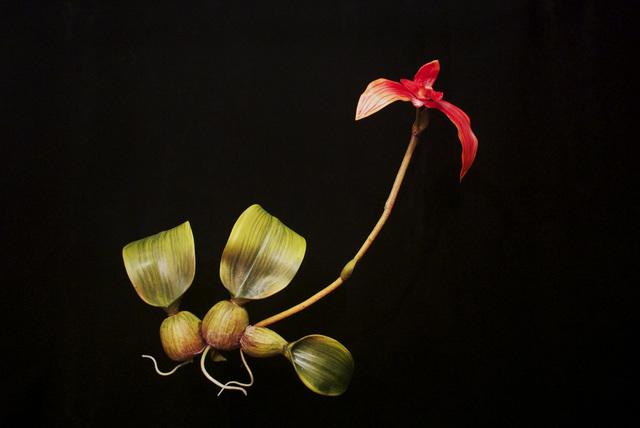 , 'END12 Bulbophyllum latisepalum,' 2015, Chan + Hori Contemporary