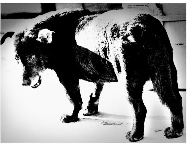 Daido Moriyama, 'Stray Dog, Misawa', 1971, G. Gibson Gallery