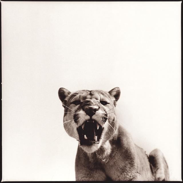 Nine Francois, 'Cougar I', Weston Gallery