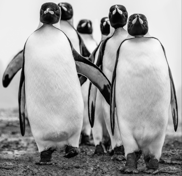 David Yarrow, 'Wise Guys', 2018, Isabella Garrucho Fine Art