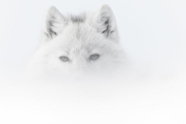 , 'Portrait de Loup Blanc dans la Brume (White Wolf in the Mist) ,' , Paul Nicklen Gallery
