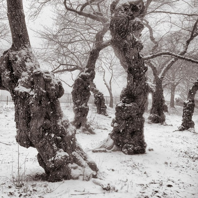 Lee Backer, 'Yoshino Cherry Trees, Central Park, New York', ., Photography, Archival pigment print, Soho Photo Gallery