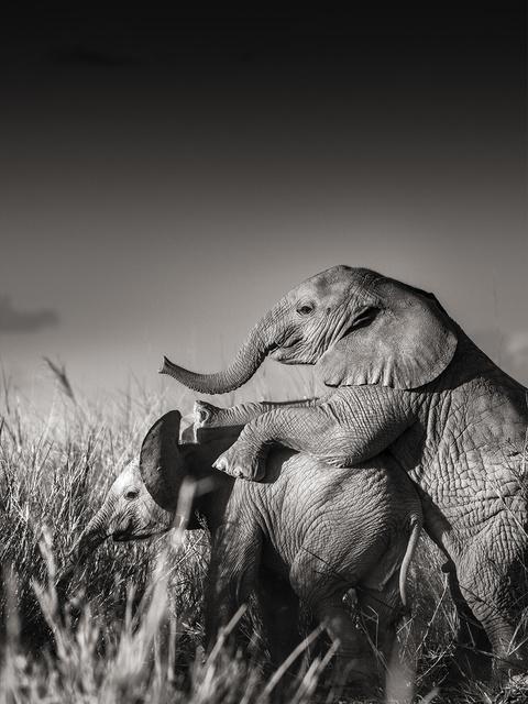 , 'Wild elephant babies playing II,' Kenya 2017, Immagis Fine Art Photography