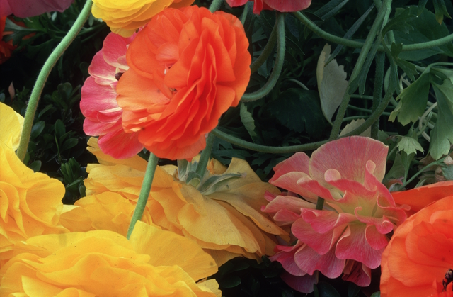 , 'Ranunculus, NY Botanical Gaderns,' 1984, Atlas Gallery