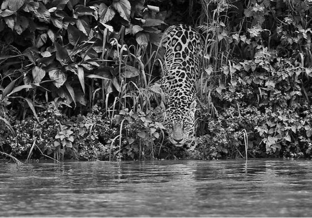 Sebastião Salgado, 'Jaguar, Tagorira River, Aguar National Park, Brazil', 2009, Photography, Gelatin silver print, Atlas Gallery