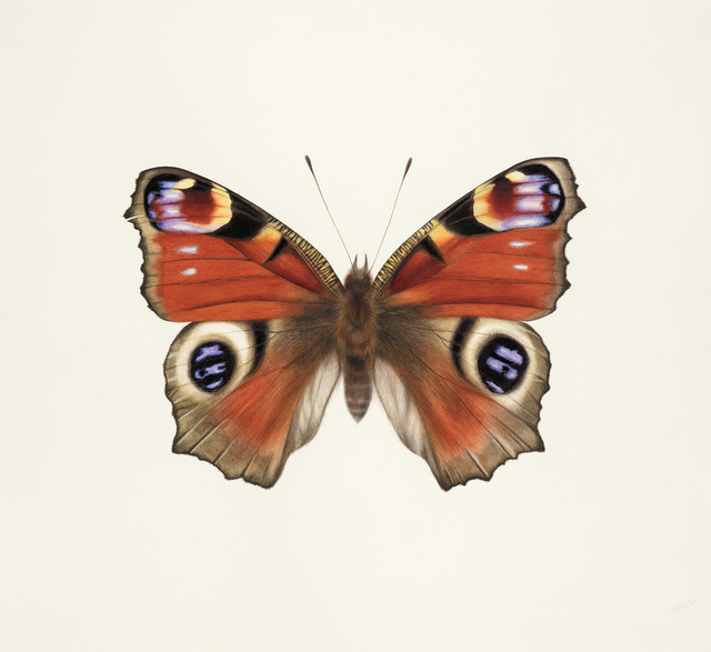 , 'Peacock Butterfly ,' , Jonathan Cooper