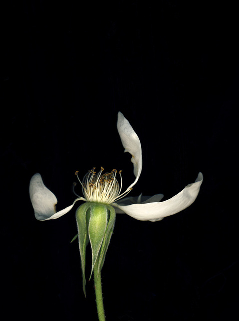 , 'Flowers #9, Untitled (Rosea),' 2010, Yancey Richardson Gallery