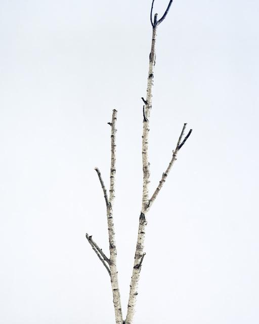 , 'Birch Tree I,' 2014, Borderline Art Space