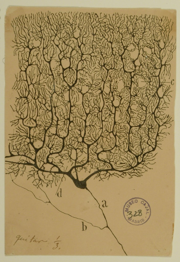 the father of modern neuroscience santiago ramon y cajal The new york times on neuroscience and the drawings of santiago ramón y cajal the father of modern neuroscience cajal's astonishing depictions of the brain.