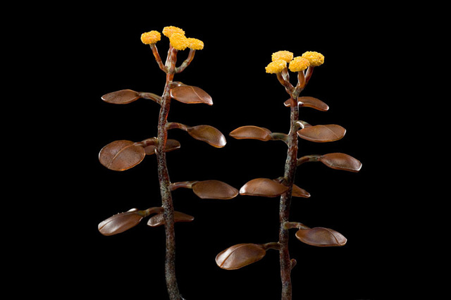 Kathleen Elliot, 'Yellow Button Weed', 2008, Sculpture, Flameworked glass, HABATAT