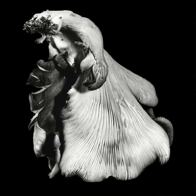 , 'Oyster Mushroom no. 40,' 2016, JL Phillips Gallery