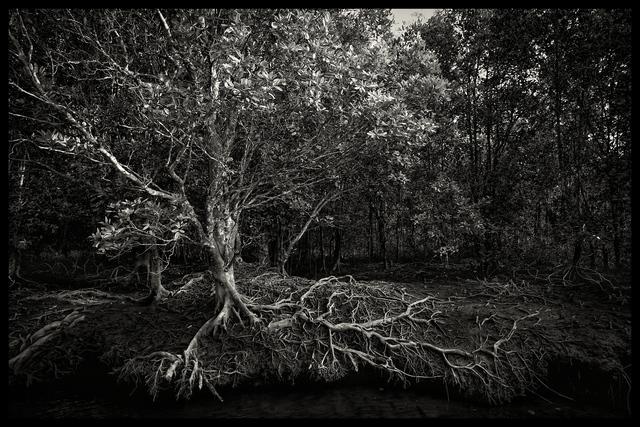 , 'Mangrove Tree, Mangrove forest, Langkawi, Malaysia,' 2016, SCShekar