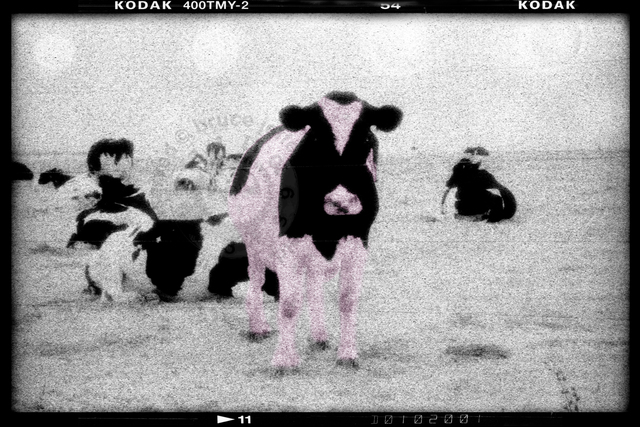 , 'Pink Cow,' , Analog Project Gallery