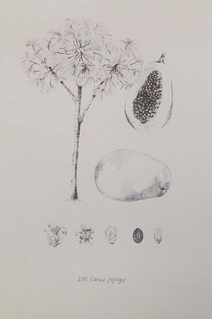 , 'Carica papaya,' 2016, Lucia Mendoza