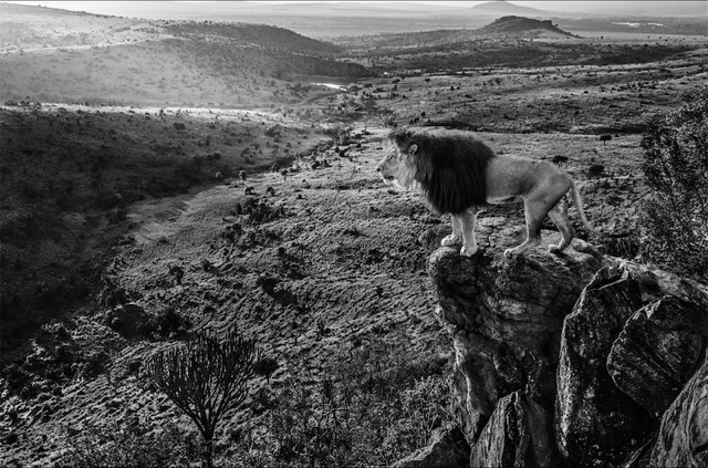 David Yarrow, 'King of Kings', 2019, Isabella Garrucho Fine Art
