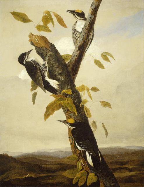 Joseph Bartholomew Kidd after John James Audubon, 'Black-Backed Three-Toed Woodpecker', 1831/1833, Painting, Pencil and oil on canvas, National Gallery of Art, Washington, D.C.