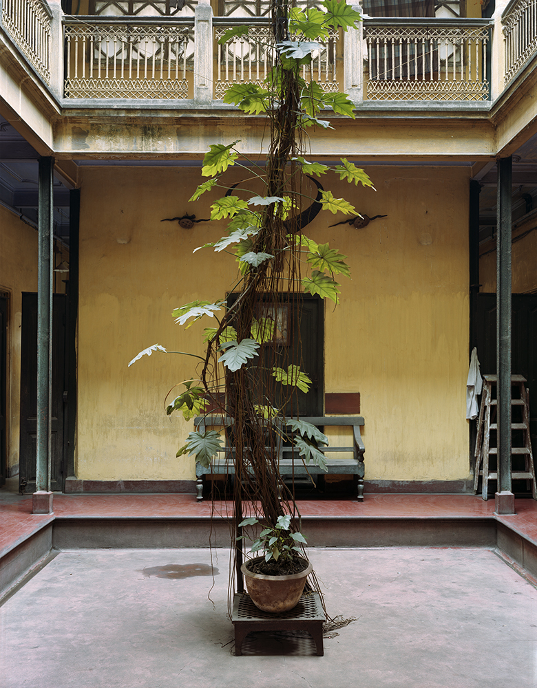 Split Leaf Philodendron, Dawn House, North Kolkata