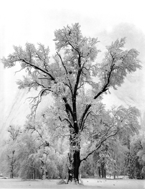Ansel Adams, 'Oaktree, Snowstorm', 1936, Atlas Gallery