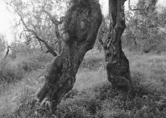 , 'Tuscan Trees #18,' 1996, Wirtz Art