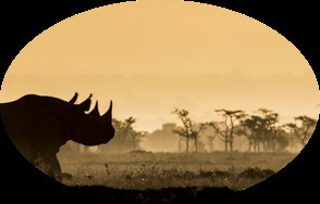 A tempting view of Rhinos from the forthcoming artpieces by Frank af Petersens