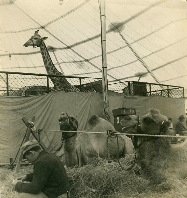 Rudy Burckhardt, 'CIRCUS ANIMALS IN A TENT', 1940, Be-hold