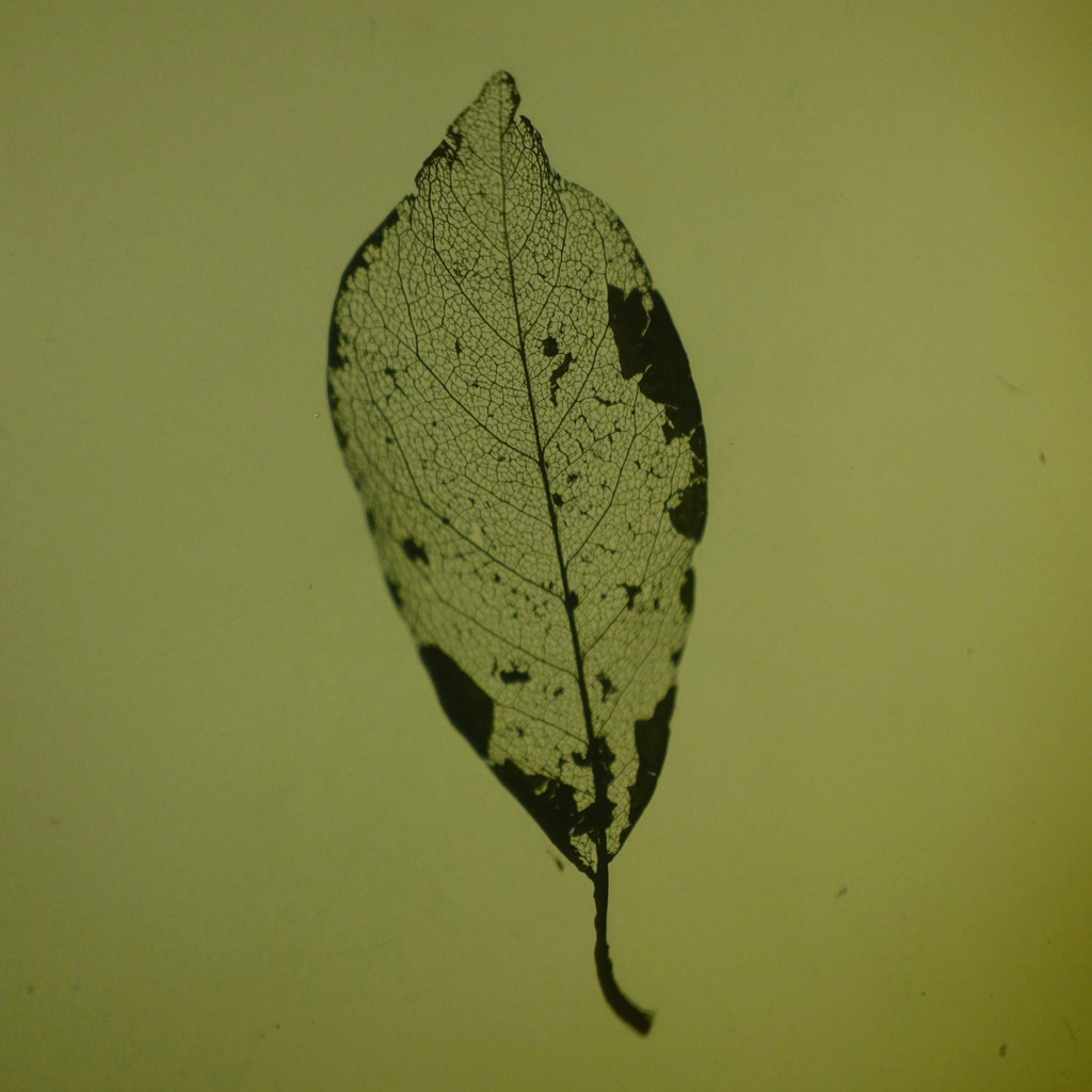Caitlin Deibel, Ash Leaf I, 2018, photo print, unique edition, 8.5 x 8.5 inches (21.59 x 21.59 cm)