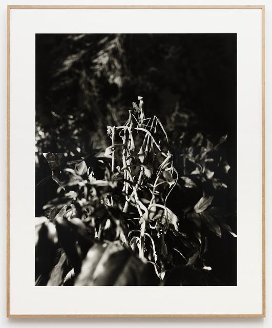Joachim Koester, 'Praying Mantis (1)', 2017, Galleri Nicolai Wallner