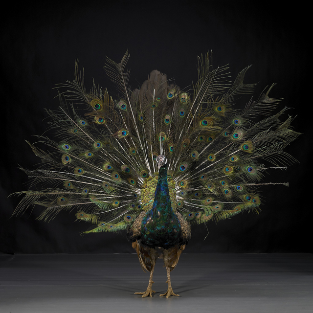, 'Hero - Peacock No. 9,' 2011, Eli Klein Gallery