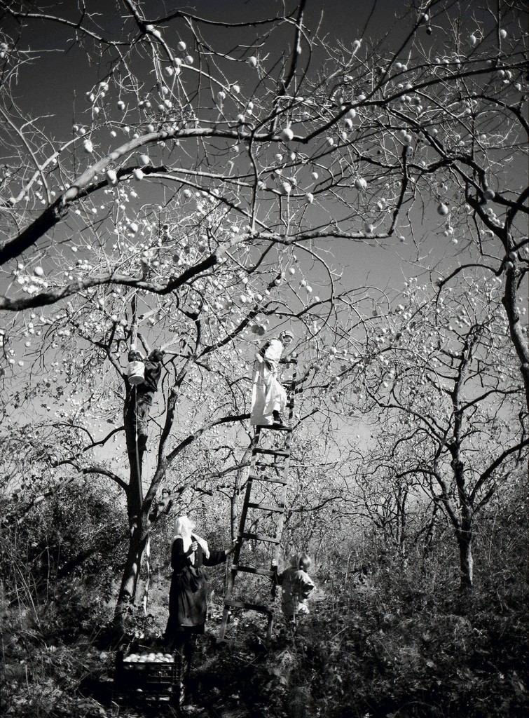 Lala Meredith-Vula, Persimmon Pickers, Rinas, Albania - 2007 - Stampa fotografica b/n - Photographic print b/w - cm 134x101 - ed. 5
