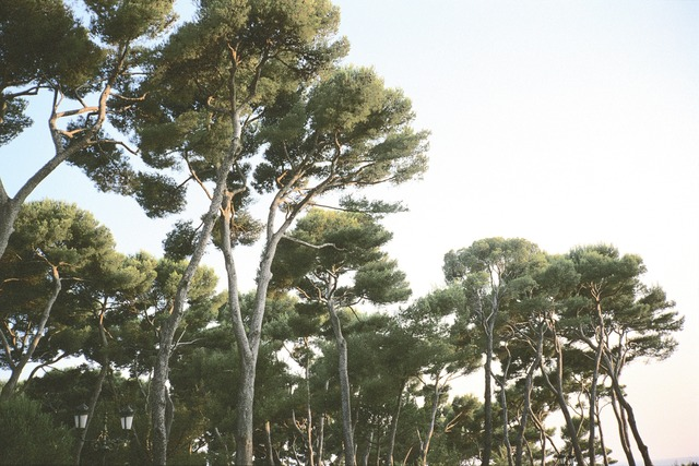 , 'Pines, Hotel du Cap, Antibes, France,' 2003, Staley-Wise Gallery